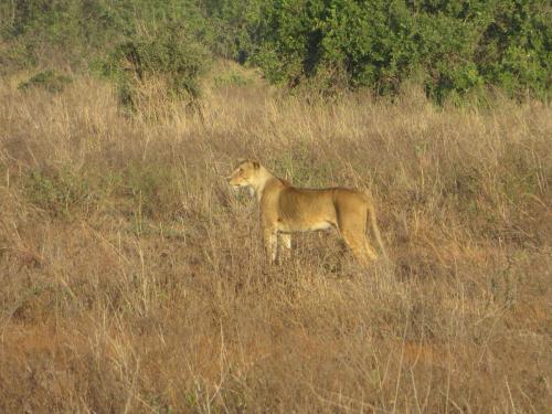 kenya-lion1