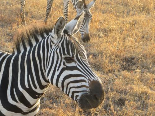kenya-zebra2